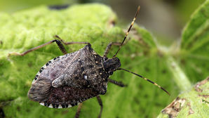Few stink-bug 'hold-ups'
