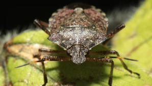 Biosecurity ready for stink bugs