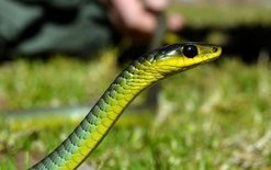 Snake crosses border in ute