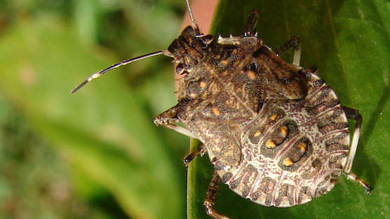 New rules to prevent stink bug invasion