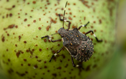 New Zealand extra wary of stink bugs after European surge