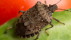 Action on stink bugs revealed