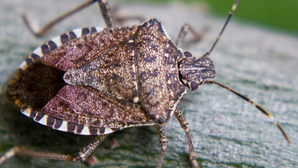 Bid to cut stink-bug threat